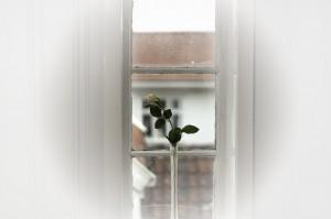 Rosen-i-vinduet-2